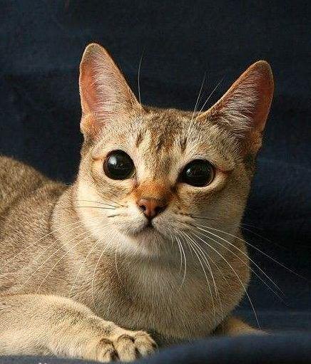 生活常识科普:世界上最小的猫