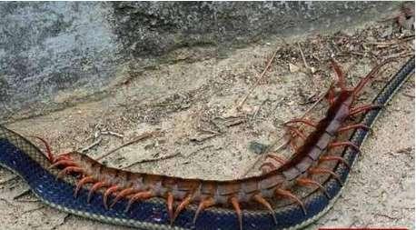 世界上最大的蜈蚣