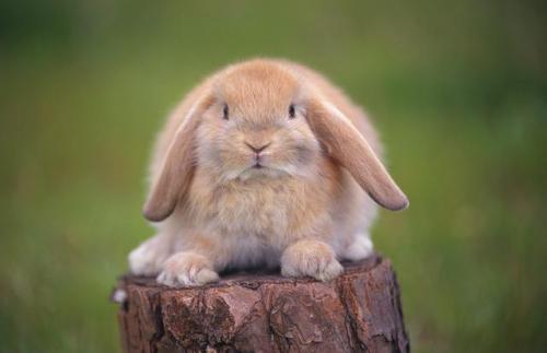 垂耳兔怎么养