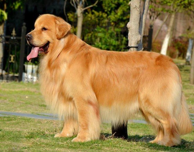 金毛犬怎么训练