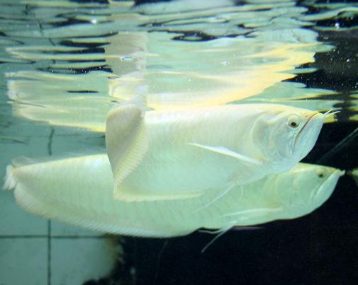 银龙鱼怎么养
