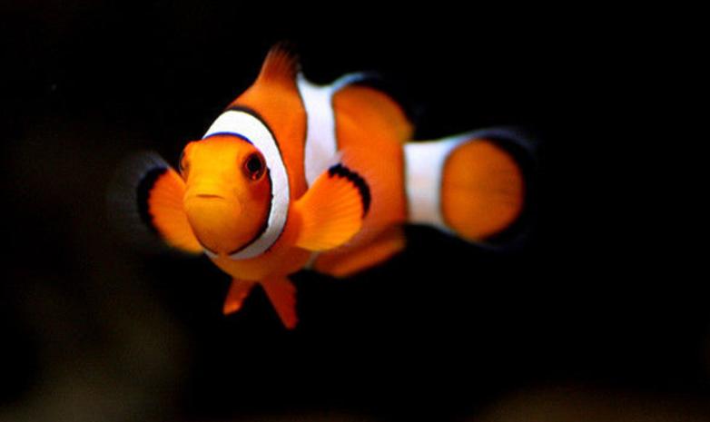 小丑鱼怎么养