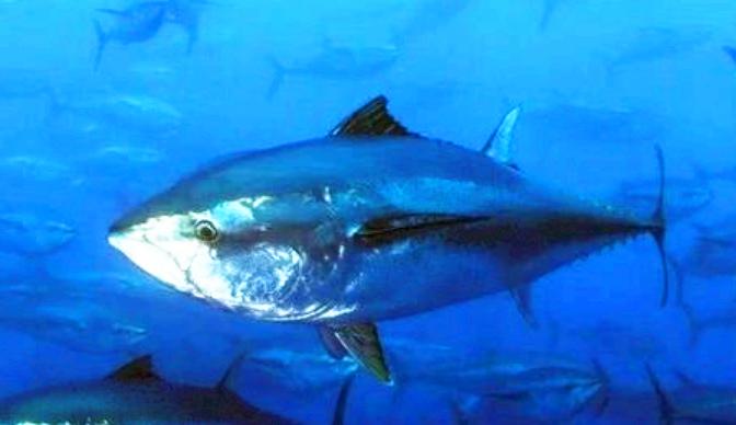 最贵的鱼是什么鱼