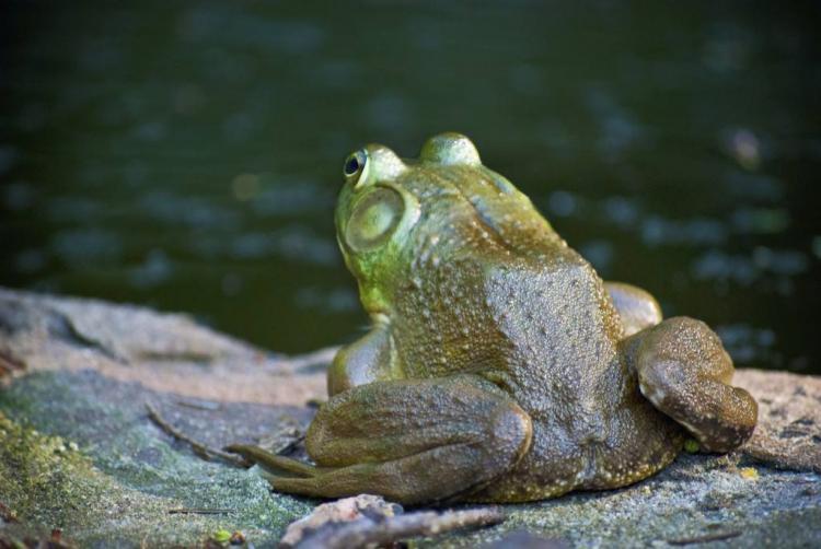 牛蛙为什么叫牛蛙