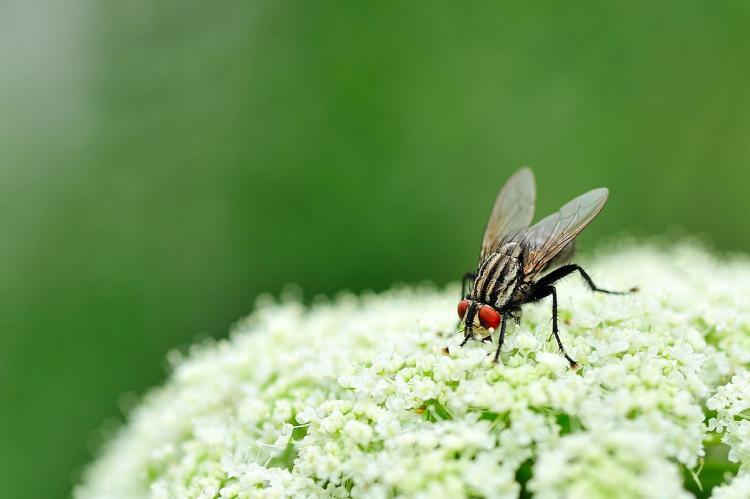 坚挺金苍蝇是什么_苍蝇为什么总搓脚_酷知经验网