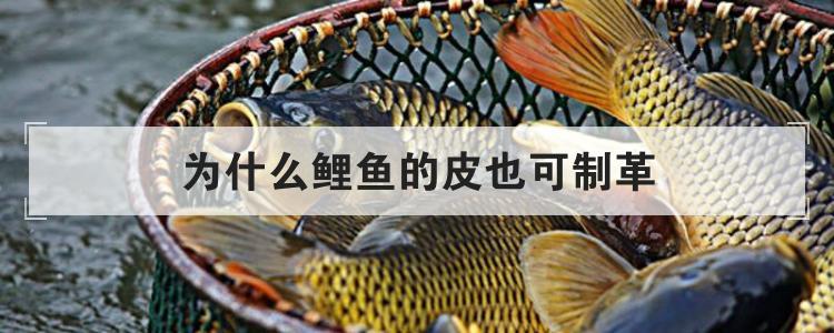 為什么鯉魚的皮也可制革