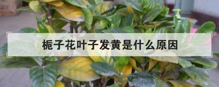 栀子花叶子发黄是什么原因-复古传奇私服