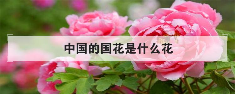 中国的国花是什么花