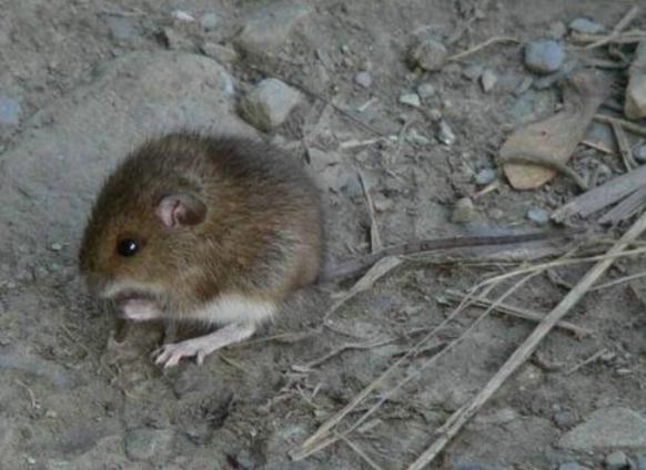 老鼠怕水淹吗