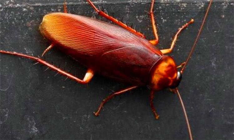 蟑螂为什么不能踩
