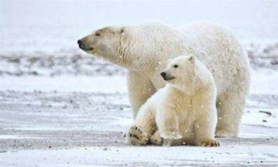 南极有北极熊吗