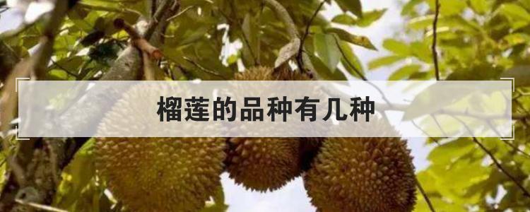 榴蓮的品種有幾種