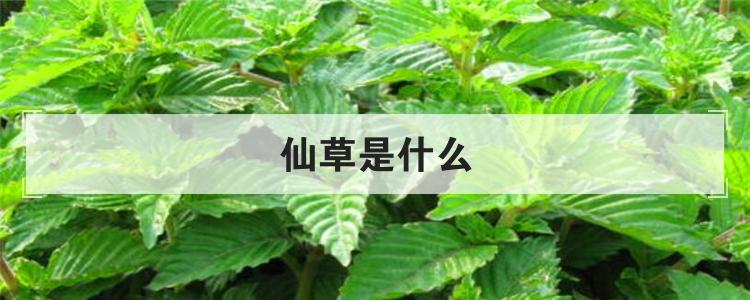 仙草是什么