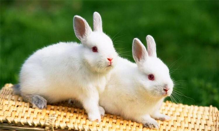 兔子吃什么