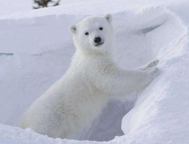 北极熊是不是冷血动物