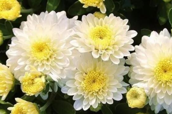 描写菊花的诗句有哪些?