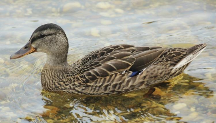 鸭子为什么会游泳而鸡不会?