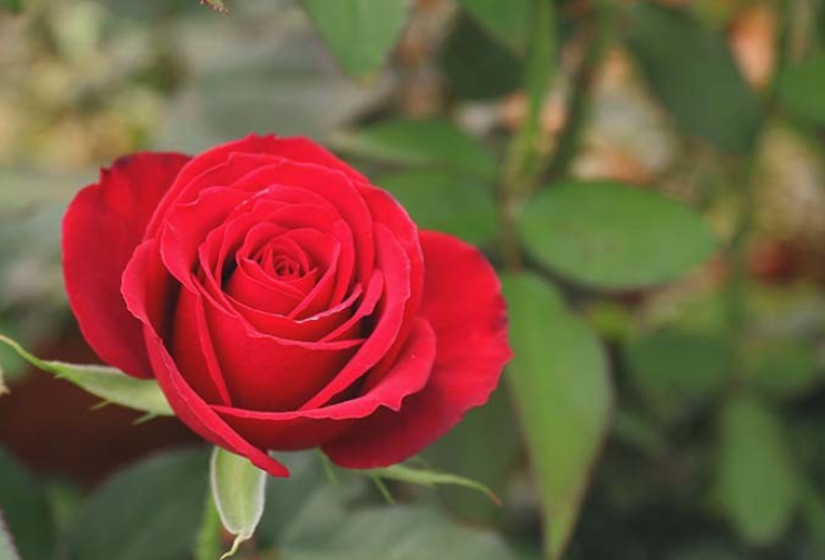 红玫瑰代表什么意思