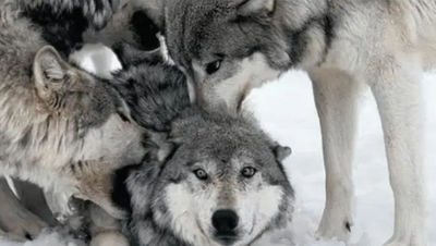 豺和狼的区别