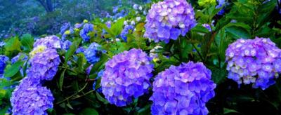 紫阳花是什么