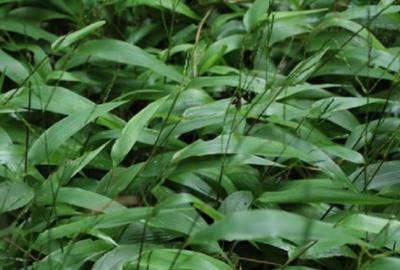 淡竹叶的功效与作用