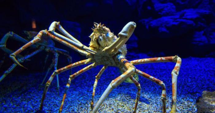 蜘蛛蟹能吃吗