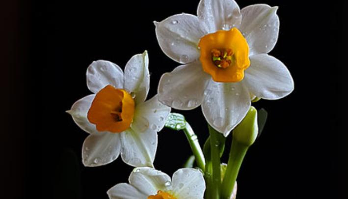 水仙花花语是什么