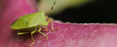 九香虫的功效与作用
