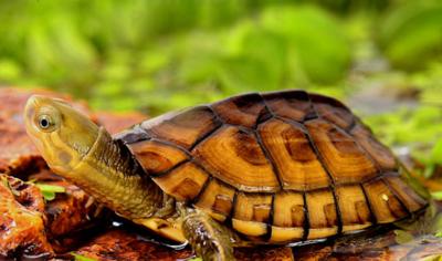 石金钱龟的功效与作用