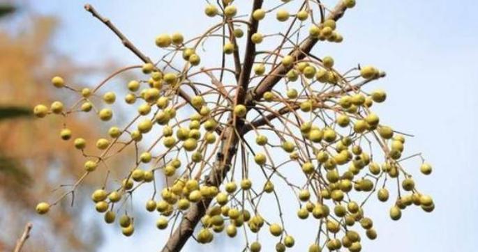 苦楝树是什么植物