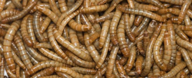 黄粉虫用途是什么