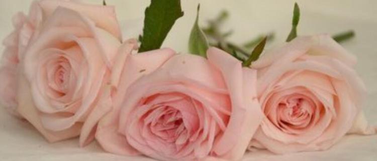 粉玫瑰代表什么意思