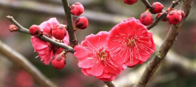 梅花有什么品质