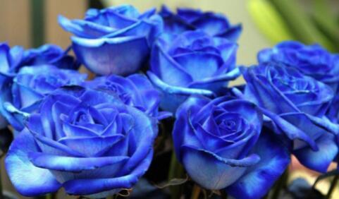 蓝色妖姬花语是什么意思