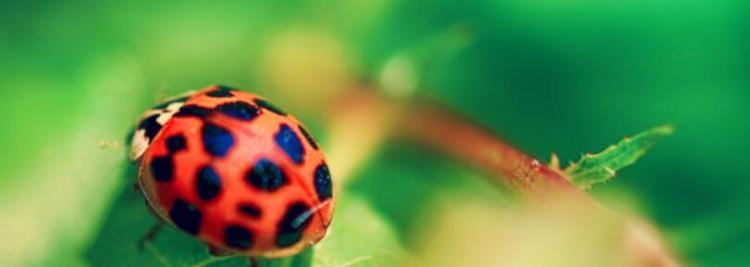 七星瓢虫吃什么