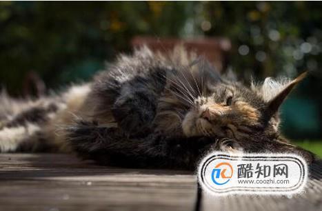 缅因猫为什么不能养_缅因猫能养多大_缅因猫不能吃什么