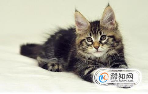 缅因猫怎么养图片