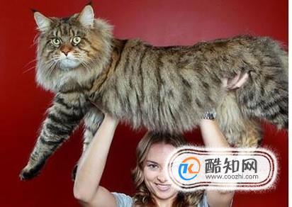 缅因猫在中国好养么图片