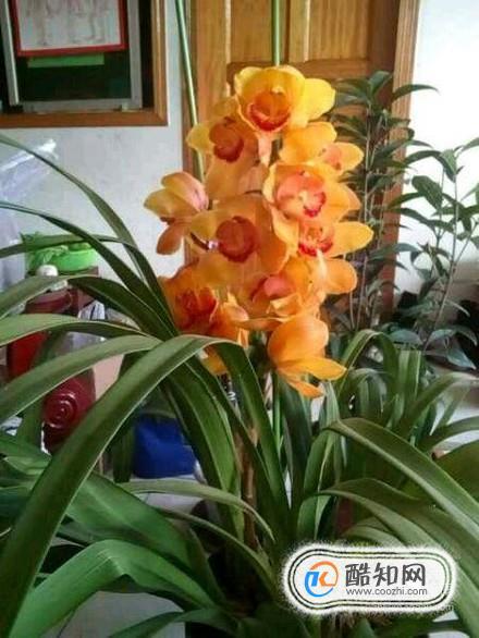 大花蕙兰的花语图片