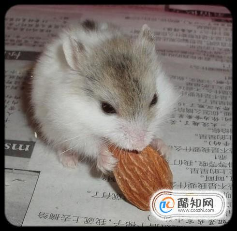 仓鼠的营养粉_三线仓鼠如何自己动手做磨牙板?_酷知经验网