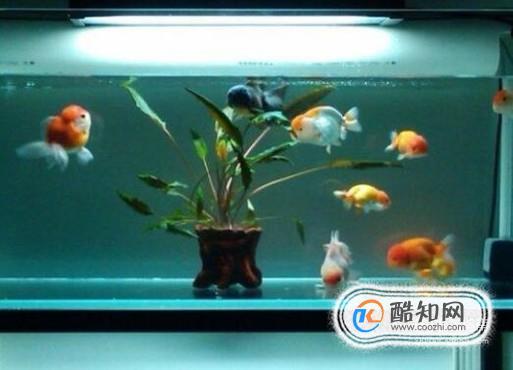 鱼缸如何养冷水鱼_鱼缸温度高怎么办_酷知经验网