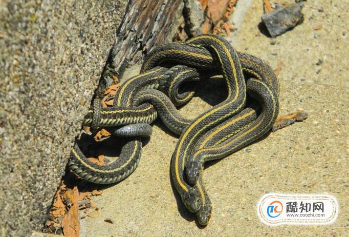 很多朋友不知道怎么分辨有毒蛇跟无毒蛇,下面来介绍一下.