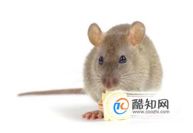 家中有老鼠,怎么消灭?-传奇3私服