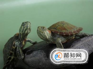 红耳鹎怎么分公母_巴西红耳龟怎么分公母_酷知经验网