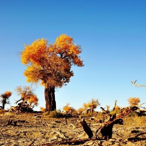 生而千年不死是什么树?