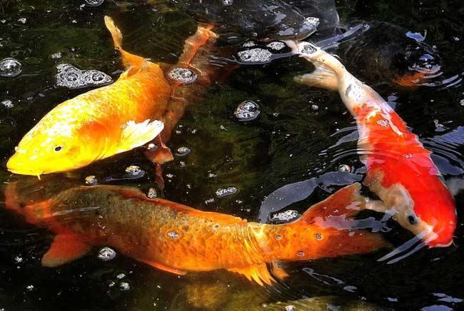 唐朝人为什么不能吃鲤鱼