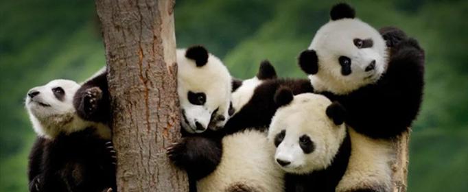 生活常识科普:大熊猫是猫吗为什么