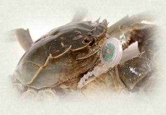 怎样分辨死螃蟹?判断死螃蟹的方法