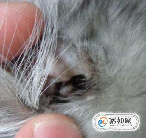 怎么治猫耳螨,猫有耳螨怎么治,治疗猫耳螨