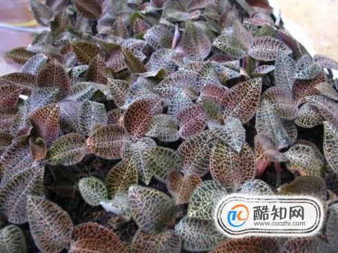 金线莲种植模式和效益